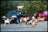 Goats. Saint John, US Virgin Islands ( color)