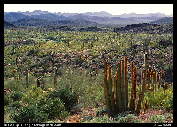 Cactus and Puerto Blanco Mountains. Organ Pipe Cactus  National Monument, Arizona, USA (color)