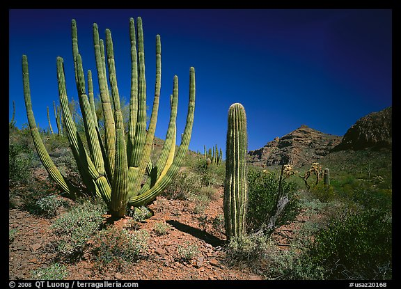 Organ Pipe Cactus and Saguaro. Organ Pipe Cactus  National Monument, Arizona, USA (color)