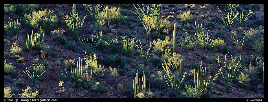 Desert hillside in shadow with sunlit cactus. Organ Pipe Cactus  National Monument, Arizona, USA (color)