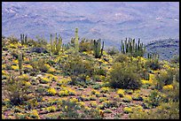 Organ pipe cactus and brittlebush on hillside, North Puerto Blanco Drive. Organ Pipe Cactus  National Monument, Arizona, USA