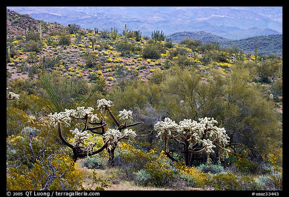 Chain fruit cholla cacti, organ pipe cacti, and brittlebush in bloom on hill. Organ Pipe Cactus  National Monument, Arizona, USA