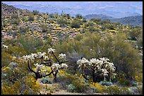 Chain fruit cholla cacti, organ pipe cacti, and brittlebush in bloom on hill. Organ Pipe Cactus  National Monument, Arizona, USA (color)