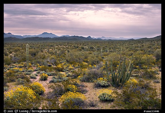 Cactus and brittlebush in the spring under cloudy skies, North Puerto Blanco Drive. Organ Pipe Cactus  National Monument, Arizona, USA (color)