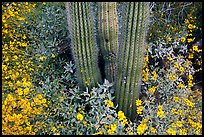 Base of organ pipe cactus and yellow brittlebush flowers. Organ Pipe Cactus  National Monument, Arizona, USA
