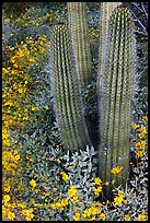 Base of organ pipe cactus and yellow brittlebush flowers. Organ Pipe Cactus  National Monument, Arizona, USA ( color)