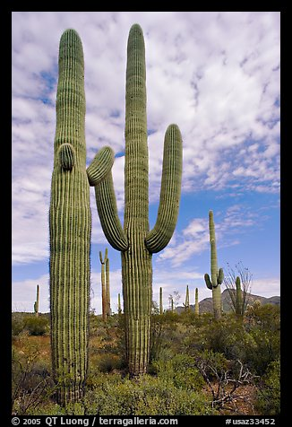 Saguaro cacti. Organ Pipe Cactus  National Monument, Arizona, USA (color)