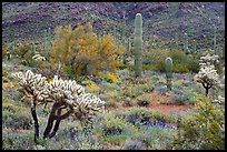 Cactus and annual flowers. Organ Pipe Cactus  National Monument, Arizona, USA (color)