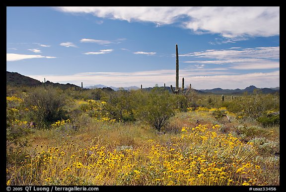 Britlebush (Encelia farinosa) in bloom, saguaro cactus, and mountains. Organ Pipe Cactus  National Monument, Arizona, USA (color)