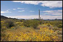 Britlebush (Encelia farinosa) in bloom, saguaro cactus, and mountains. Organ Pipe Cactus  National Monument, Arizona, USA