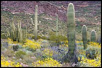Group of Saguaro cactus amongst flowering brittlebush. Organ Pipe Cactus  National Monument, Arizona, USA