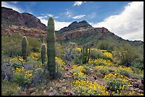 Cactus, field of brittlebush in bloom, and Ajo Mountains. Organ Pipe Cactus  National Monument, Arizona, USA