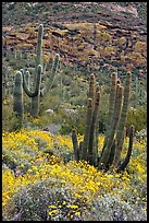Organ pipe cacti on slope in spring. Organ Pipe Cactus  National Monument, Arizona, USA