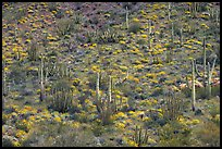 Hillside with cactus and brittlebush in bloom, Ajo Mountains. Organ Pipe Cactus  National Monument, Arizona, USA