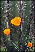 Close-up of Mexican Poppies (Eschscholzia californica subsp. mexicana) and Cactus. Organ Pipe Cactus  National Monument, Arizona, USA