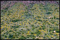 Hillside wih cactus and brittlebush in spring, Ajo Mountains. Organ Pipe Cactus  National Monument, Arizona, USA