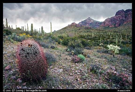 Barrel cactus, Ajo Mountains, and dark clouds. Organ Pipe Cactus  National Monument, Arizona, USA