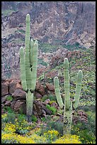 Multi-armed saguaro cactus in spring, Ajo Mountains. Organ Pipe Cactus  National Monument, Arizona, USA