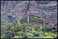 Group of saguaro cactus in spring, Ajo Mountains. Organ Pipe Cactus  National Monument, Arizona, USA (color)