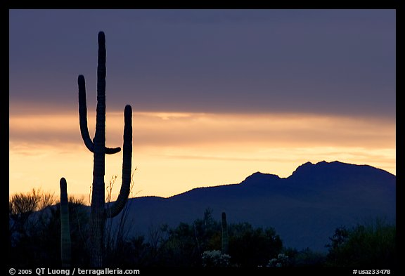 Saguaro cactus silhouetted at sunset. Organ Pipe Cactus  National Monument, Arizona, USA (color)