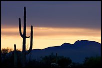 Saguaro cactus silhouetted at sunset. Organ Pipe Cactus  National Monument, Arizona, USA ( color)