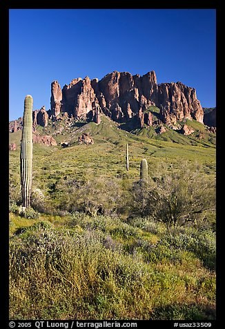 Tall cacti and Superstition Mountains, Lost Dutchman State Park, afternoon. Arizona, USA (color)