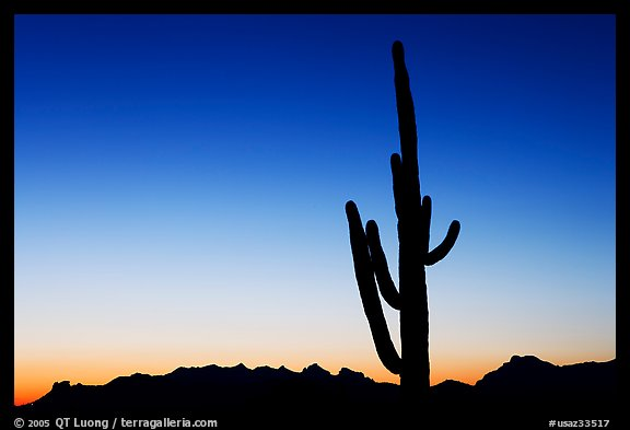 Multi-armed saguaro cactus, sunset, Lost Dutchman State Park. Arizona, USA (color)