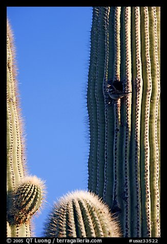 Cactus Wren nesting in a cavity of a saguaro cactus, Lost Dutchman State Park. Arizona, USA