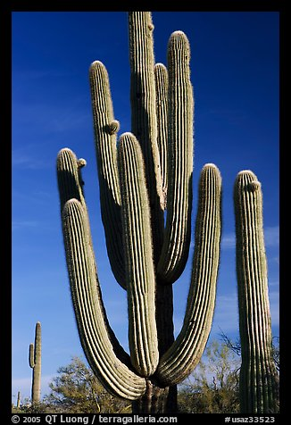 Old saguaro cacti, Lost Dutchman State Park. Arizona, USA (color)