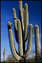 Old saguaro cacti, Lost Dutchman State Park. Arizona, USA ( color)