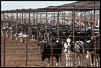 Beef cattle in feedyard, Maricopa. Arizona, USA (color)