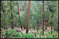 Pine trees, Apache National Forest. Arizona, USA ( color)
