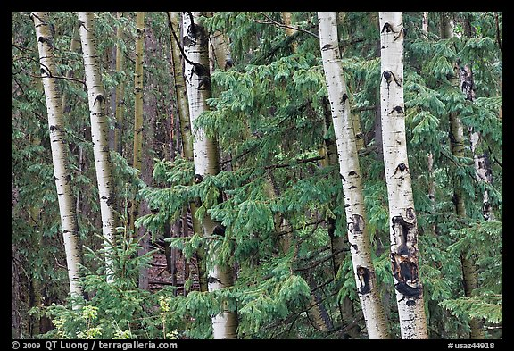 Aspens and conifers, Apache National Forest. Arizona, USA (color)