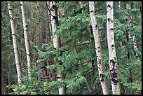 Aspens and conifers, Apache National Forest. Arizona, USA ( color)