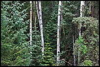 Mixed woodland with aspens and evergreens, Apache National Forest. Arizona, USA ( color)