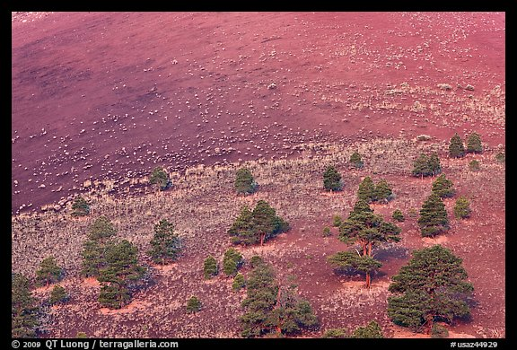 Pines on cinder slopes of crater at sunrise, Sunset Crater Volcano National Monument. Arizona, USA (color)