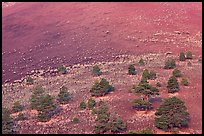 Pines on cinder slopes of crater at sunrise, Sunset Crater Volcano National Monument. Arizona, USA
