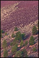 Pines trees and shrubs on cinder slope at sunrise, Sunset Crater Volcano National Monument. Arizona, USA (color)