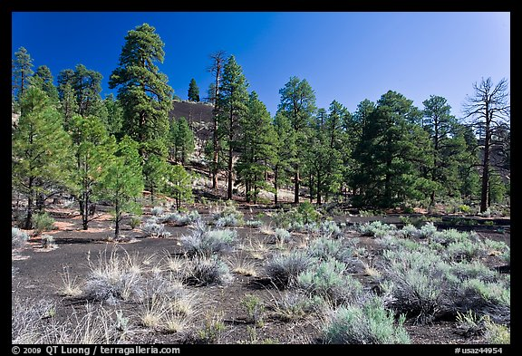 Cinder and pine trees, Coconino National Forest. Arizona, USA (color)