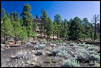 Cinder and pine trees, Coconino National Forest. Arizona, USA