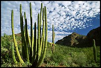 Organ Pipe Cactus (Stenocereus thurberi) and Diablo Mountains. Organ Pipe Cactus  National Monument, Arizona, USA ( color)