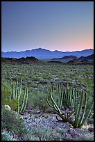 Cactus and Sonoyta Valley, dusk. Organ Pipe Cactus  National Monument, Arizona, USA
