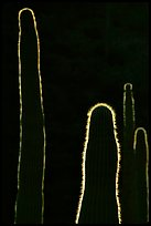 Backlit cactus. Organ Pipe Cactus  National Monument, Arizona, USA