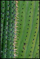 Detail of Organ Pipe Cactus. Organ Pipe Cactus  National Monument, Arizona, USA ( color)