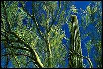 Paloverde and Cactus. Organ Pipe Cactus  National Monument, Arizona, USA