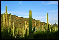 Saguaro cactus and moon. Organ Pipe Cactus  National Monument, Arizona, USA