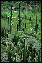 Cactus on hillside. Organ Pipe Cactus  National Monument, Arizona, USA