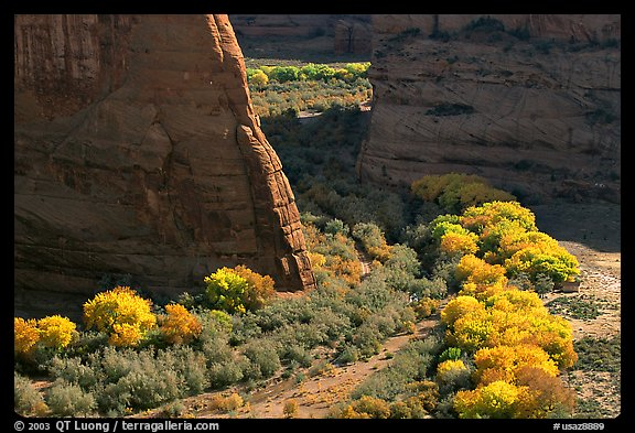 Cottonwoods in fall color and walls, White House Overlook. Canyon de Chelly  National Monument, Arizona, USA (color)