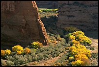 Cottonwoods in fall color and walls, White House Overlook. Canyon de Chelly  National Monument, Arizona, USA