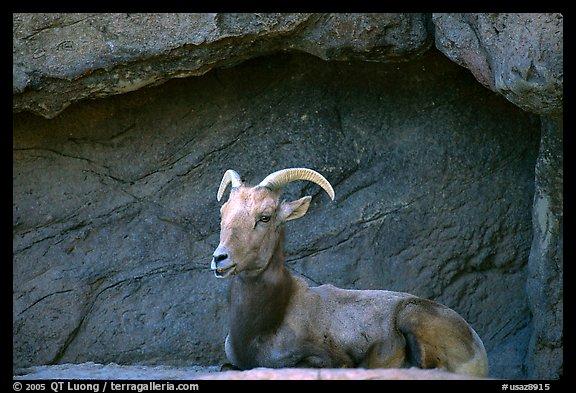desert bighorn sheep  arizona